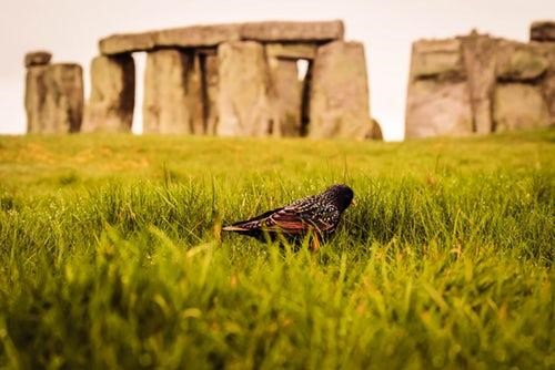 Stonehenge in background with small bird on grass